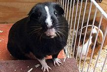cavymadness: articles / Noteworthy and newsworthy guinea pigs.
