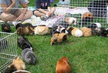 Pignic Central / A celebration of Pignics: meetups of guinea pigs and their people.