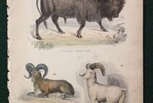 Mammals - Museum Of Natural History Engravings By Lowry