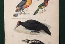 Birds - Museum Of Natural History Engravings By Lowry