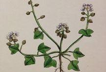 James Sowerby Botanical Engravings