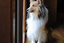 Shetland sheepdog / Mé oblíbené psí plemeno Sheltie :o)