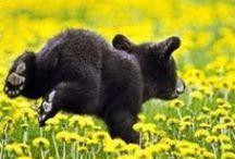Zwarte beren
