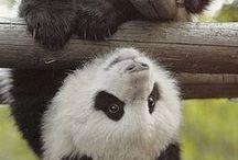 ANIMALS | Panda