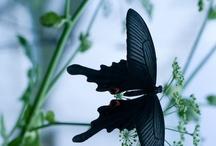 Butterflies   蝶 / by Shino K