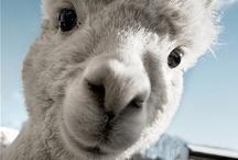 Llamas, Alpacas and Cotton Candy