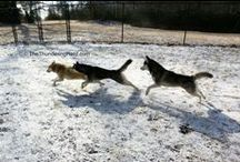 The Thundering Herd / Daily stories of the life of six rescued Siberian Huskies.