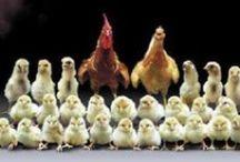Chicken & Egg Mania
