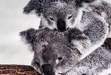the.koala.bears