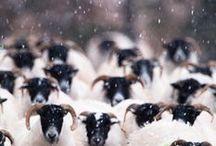 the.sheep / white sheep. black sheep. tend sheep. clip sheep. Wool comes from sheep.