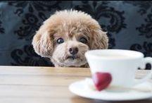 toy poodle ・ dog / Nicole