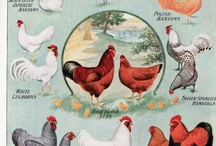 Chickens and Chicken Coops / All things chicken.