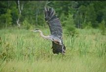 Wildlife / Staying in Wisconsin's beautiful Northwoods offers you the opportunity to enjoy some great scenery and wildlife!