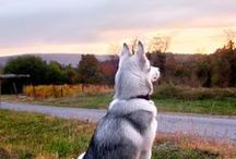 Husky / Husky & German Shepherds