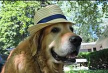Golden Retriever Photography / At MyDogLikes, it is clear we love Goldens!  These are some of our favorite photos of Golden Retrievers!