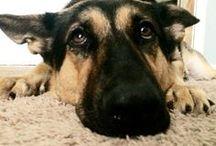 Memphis / German Shepherd Dogs