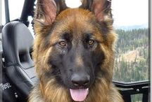 German Shepherds / German Shepherds from Dog of the Day .com German Shepherds, German Shepherd Dogs, GSD / by Dog of the Day