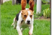 Beagles / Beagles of all varieties from Dog of the Day .com / by Dog of the Day