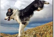 Collies / Collies of every variety from DogoftheDay.com - Border Collies, Rough Collies, all collies. / by Dog of the Day