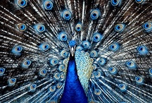 King Peacock / The Peacock, Pavo cristatus (Linnaeus), is the national bird of India. It is symbolic of qualities like beauty, grace, pride and mysticism.