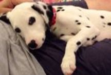 Puppy Ella / Baby Girl Ella the Dalmatian
