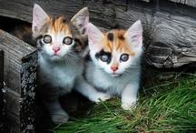 Felis domesticus / by Cindi Darling