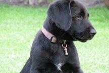 My dog / Stafke my love - my lab