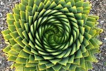 Fibonacci in plants