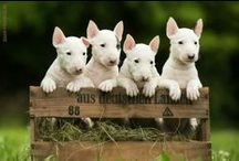 Bull Terriers Are Beautiful Too!