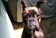 I Love Dogs ! / Dedicated to my passion for my boxers, Tinker & Lil' Bit ❤️❤ / by Barbara Lee