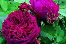 Roses / I LOVE roses.  English roses with a strong fragrance are the ones that make a garden truly romantic.  Here are my top recommendations for scent and splendour from English rose connoisseur David Austin.
