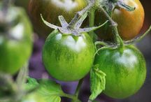 Tastiest Toms / Great tasting tomatoes that will do well in a UK garden.