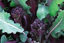 Bountiful Brassica / Favourite brassica for taste and beauty