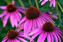 Echinacea / A soft spot for these magnificent daisies which are also a powerful medicinal herb for colds and flu's.