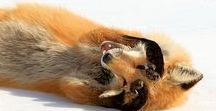Animals / Foxes and other beautiful Creatures of the World