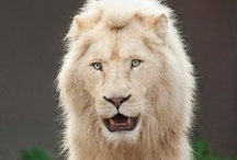 Lions and tigers and big cats..oh my / by Barbara