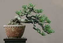 Bonsai / The tree gives gifts. / by Yoshimoto Yamaha