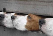 I Love the English Foxhound!