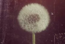 Dandelions / images of this elusive weed that photographs so well and has a useful purpose.  / by Honey Malek