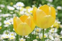 TuLiPS / Najviac svetom a mnou milovane tulipany