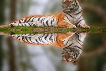 Tiger Photography / The most magnificent creature in the entire world, the tiger is.