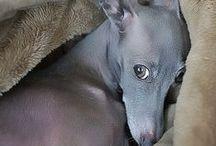 italien greyhound
