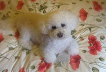Beautiful Bichons... / I have a Bichon called Rosie. She has the most lovely temperament and is adorable. All Bichons are lovely dogs though.