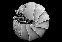 Oniscidea... / Crustacea Isopoda