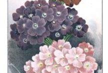 """Verbena Perfume / Linda caixa em ouro fosco, vidro art decô, 100 ml. Excelente fixador...o aroma cítrico com notas florais,é maravilhoso.   """" """"Verbena, arbusto cultivado nas encostas do Mediterrâneo,conhecida também como erva encantada. Tem uma fragrância cítrica irresistível, é a planta mágica por excelência.Os romanos atribuíam-na à Vênus, acreditavam que tinha o poder de acender a chama de um paixão. O óleo essencial ativa a sedução e a autoestima."""