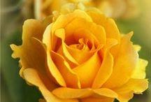 RUŽE A ORCHIDEJE
