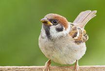 022.  V14.   Huismussen / Mussoortenhuisvogels