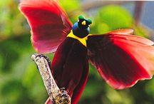 022.  V16.   Paradijsvogels