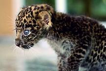 Cheeta & Leopard <3