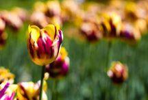 ♀ Tulips, Flowers ♀